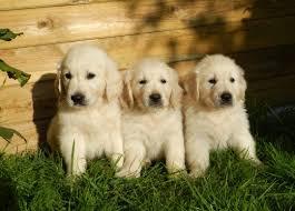 albino golden retriever. Beautiful Retriever White Golden Retriever Puppies In Albino Golden Retriever I