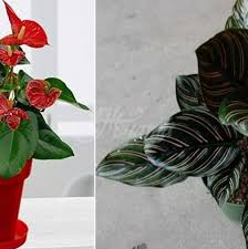 Стайните растения, които растат в ограничени почвени условия, изискват допълнително подхранване. 10 Stajni Rasteniya S Koito V Domt Vi She Caruvat Vinagi Zdrave Shastie I Prosperitet Za Zhenata