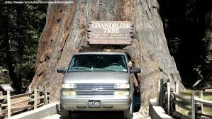 ceiling lights redwood tree you drive through chandelier light bulbs redwood forest tree you drive