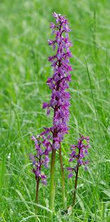 Orchis mascula - Wikipedia