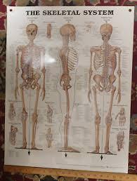 Laminated Illustrated Human Skeletal System Anatomical Chart