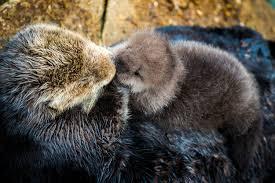monterey bay aquarium sea otter