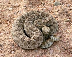 Image result for rattlesnake pictures california