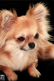 Best 25 Long Hair Chihuahua Ideas On Pinterest Long Haired