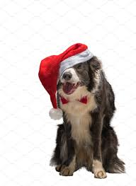 Christmas border collie dog in a red ...