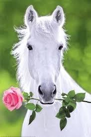 white horses. Interesting Horses White Horse Holding Pink Rose Art Poster Print On Horses AllPosterscom