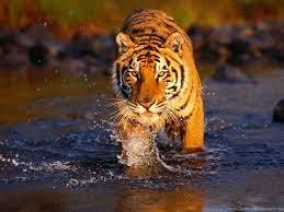 Tiger Hd 3d Wallpapers Desktop Background