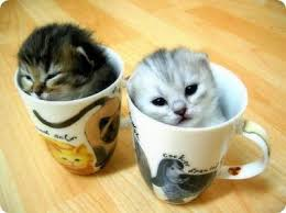 Image result for teacup cats and miniature cats