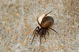 Small Black Flying Bugs In Bedroom Uk Spider Identification 17 Common British Spiders You Might Find