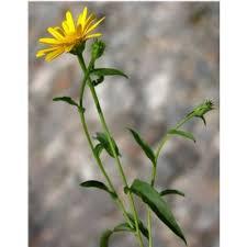 Genere Buphthalmum - Flora Italiana
