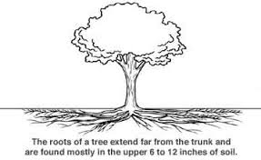Tree Root Depth Chart How Far On Average Do Tree Roots Extend Out From The Base