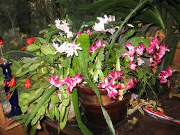 three and holiday cactus blooming in the same planter