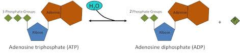 introduction to metabolism enzymes