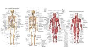 anatomy encyclopedia illustrations medicine muscles science  anatomy encyclopedia illustrations medicine muscles science skeletons