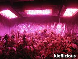 fat cans buds under blackstar led grow panels