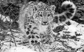 Snow Leopard Pictures Wallpaper - Snow ...