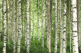 Clear Birch Forest Wall Mural Photo Wallpaper Photowall