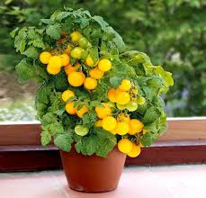 best garden vegetables. Without A Doubt, Tomatoes Are The Most Productive Vegetables You Can Grow In Pots. Need Ample Sun (5-6 Hours Minimum). Pot Size Depends On Best Garden N
