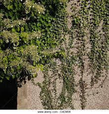 Creepers Plants On House Stock Photos U0026 Creepers Plants On House Wall Climbing Plants India