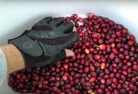 The effect of consumption on humans, whether positive or negative, has been studied and debated with the results widely debated. How Ripe Is Too Ripe A Video Guide To Coffee Cherry Picking Perfect Daily Grind