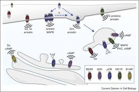 Gpcr Signaling Spatial Encoding Of Gpcr Signaling In The Nervous System