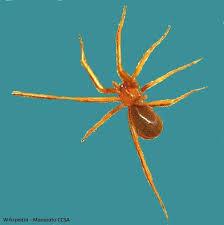 Pest Control Brown Recluse Spider Hearts Pest Management