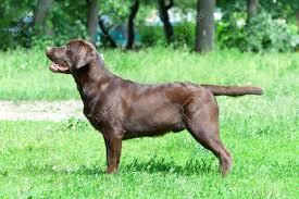 chocolate labrador retriever. Chocolate Labrador Retriever Ge 90 Mois Photo Horizontale Banque Throughout