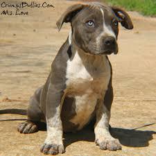cute pitbull puppies for sale. Contemporary For Tri Color Bully Puppiestri Pitbull Puppiesblue Pitbulls For Sale  Intended Cute Pitbull Puppies For Sale