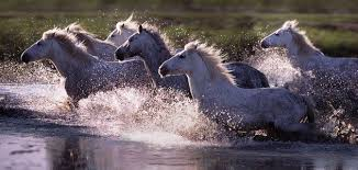wild horses running through water.  Through Horses Running Wild  Wild Horses Running Through Water Animalgals In D