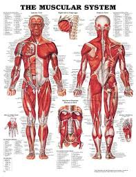Human Muscular System Diagram - Health, Medicine and Anatomy ...