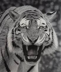 white tiger growling. Wonderful White Tiger Growling In Pencil By StephenAinsworth On DeviantART Intended White Growling N