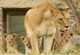 lioness and 4 cubs. Modren Lioness Image Is Loading LIONFAMILYGLOSSYPOSTERPICTUREPHOTOjunglecat And Lioness 4 Cubs F