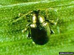 Corn Flea Beetle Corn Flea Beetle Chaetocnema Pulicaria Coleoptera