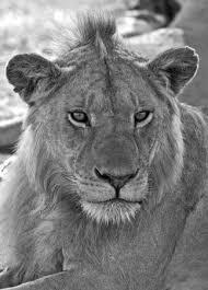 black and white lion portrait.  Black Black And White Lion Portrait Stock Photo  84657083 Throughout And White Lion Portrait R