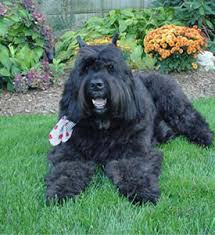 Image result for bouvier des flandres