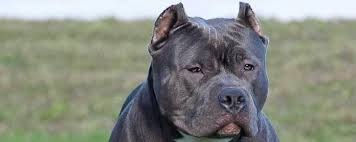mean pitbull dogs fighting. Interesting Mean With Mean Pitbull Dogs Fighting