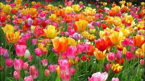 tulip flowers garden hd wallpapers
