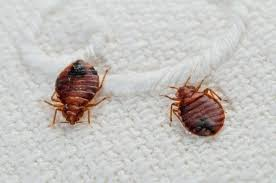 Size Of Bed Bugs Chart Bed Busg Dla1 Co