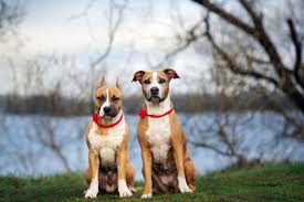 6 Best American Staffordshire Terrier Dog Foods