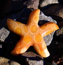 best starfish images starfish ocean life and stars fossil coral starfish cab 28mm