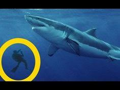real megalodon shark sightings pictures. Beautiful Sightings Top 5 Best MEGALODON SHARK Sightings Of All Time Megalodons Are Worldu0027s  Largest Sharks Ever These Giant Sea Monsters Didnu0027t Go Extinct In Real Megalodon Shark Pictures O