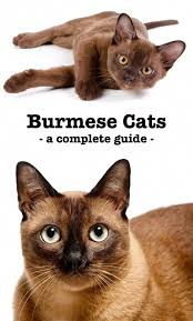 Burmese Kitten Weight Chart The Burmese Cat A Complete Guide To The Breed Burmese