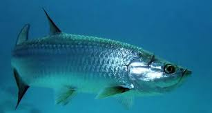 Atlantic Tarpon Interesting Fishes Of The Gulf Of Mexico