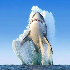 great white shark jumping. Plain Great Great White Shark Jumping In A