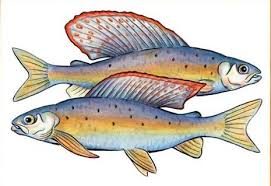 Can We Bring The Grayling Back To Michigan