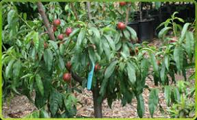 PolynesianProduceStandSouthern California Fruit Trees
