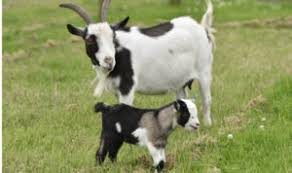 Goat Gestation Period Calculator