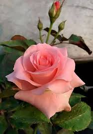 Pin by Maryellen Skinner on ROSES   Rose flower, Hybrid tea roses,  Beautiful rose flowers