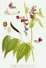 File:315 Lathyrus montanus, Lathyrus vernus.jpg - Wikimedia ...