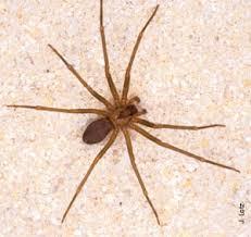Venomous Spiders In Florida Florida Department Of